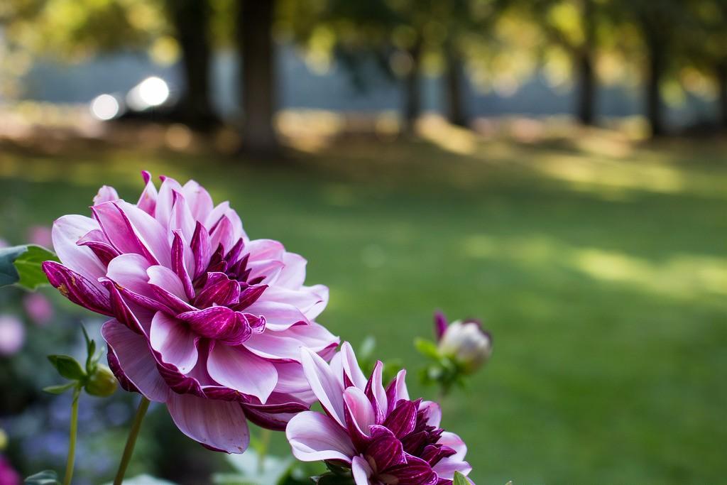 Dahliengarten   © Daniel Ringwald/Flickr