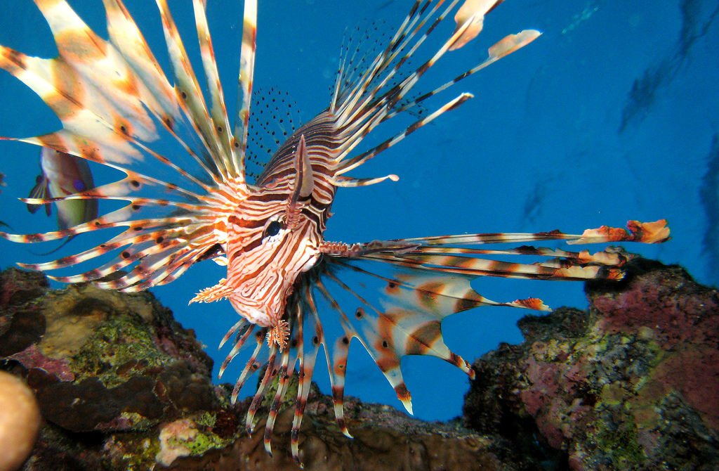 Lionfish © Michael Aston/Flickr