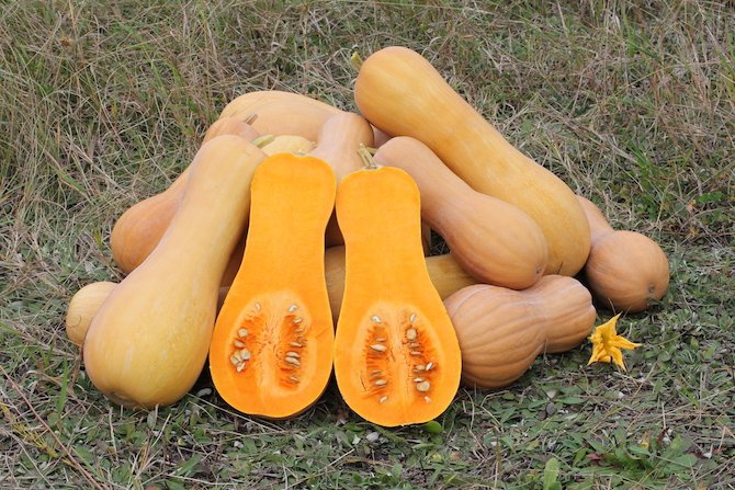 Butternut Squash ©WikiCommons