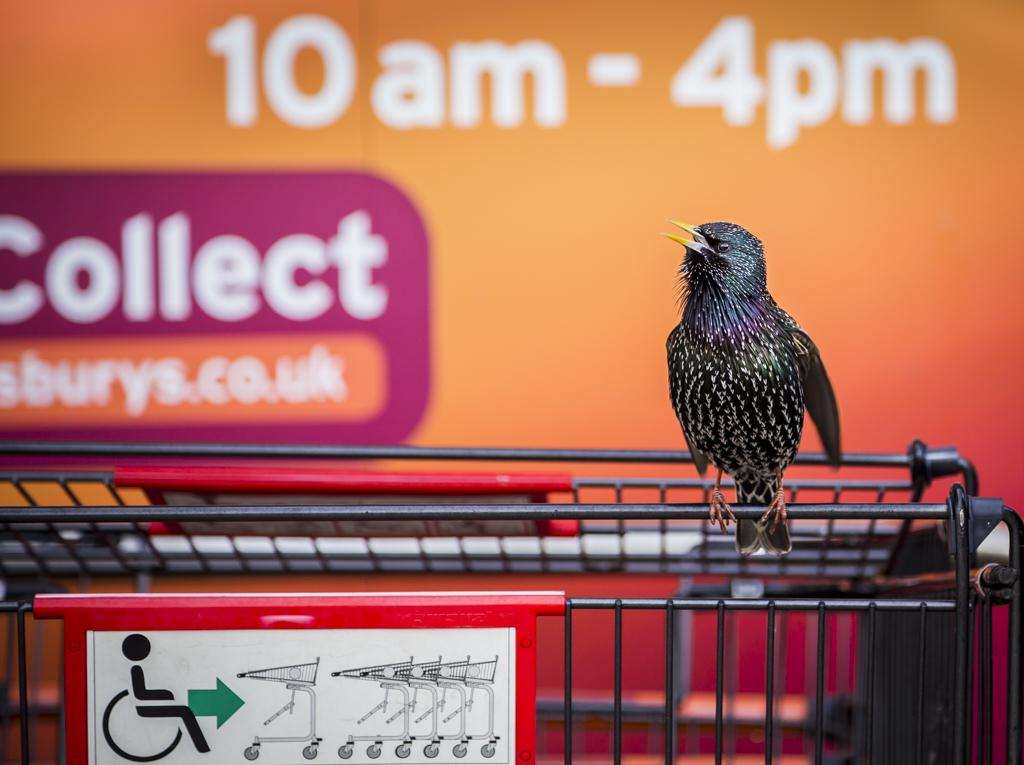 The Supermarket Starling | © Geoff Treaverthan BPWA Awards