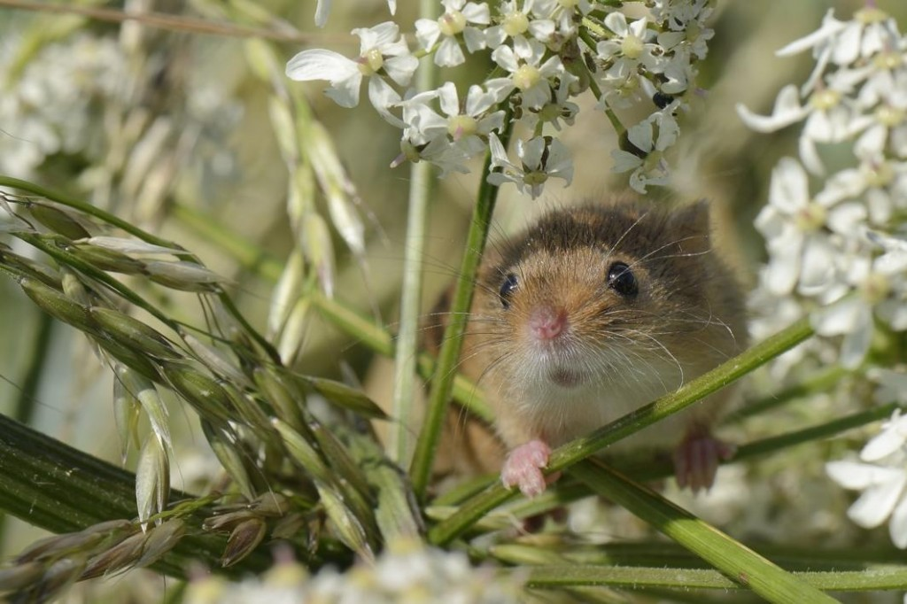 Monitoring Harvest Mice | © Nick Upton BPWA Award