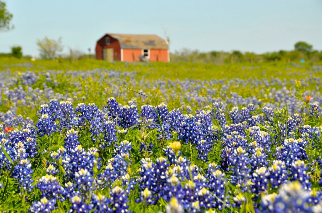 Texas wildflowers © Faungg's Photos