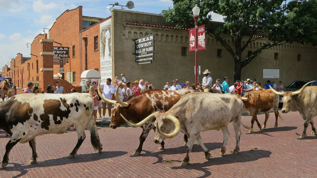 Longhorn cattle drive at Fort Worth Stockyards © Alex Butterfield