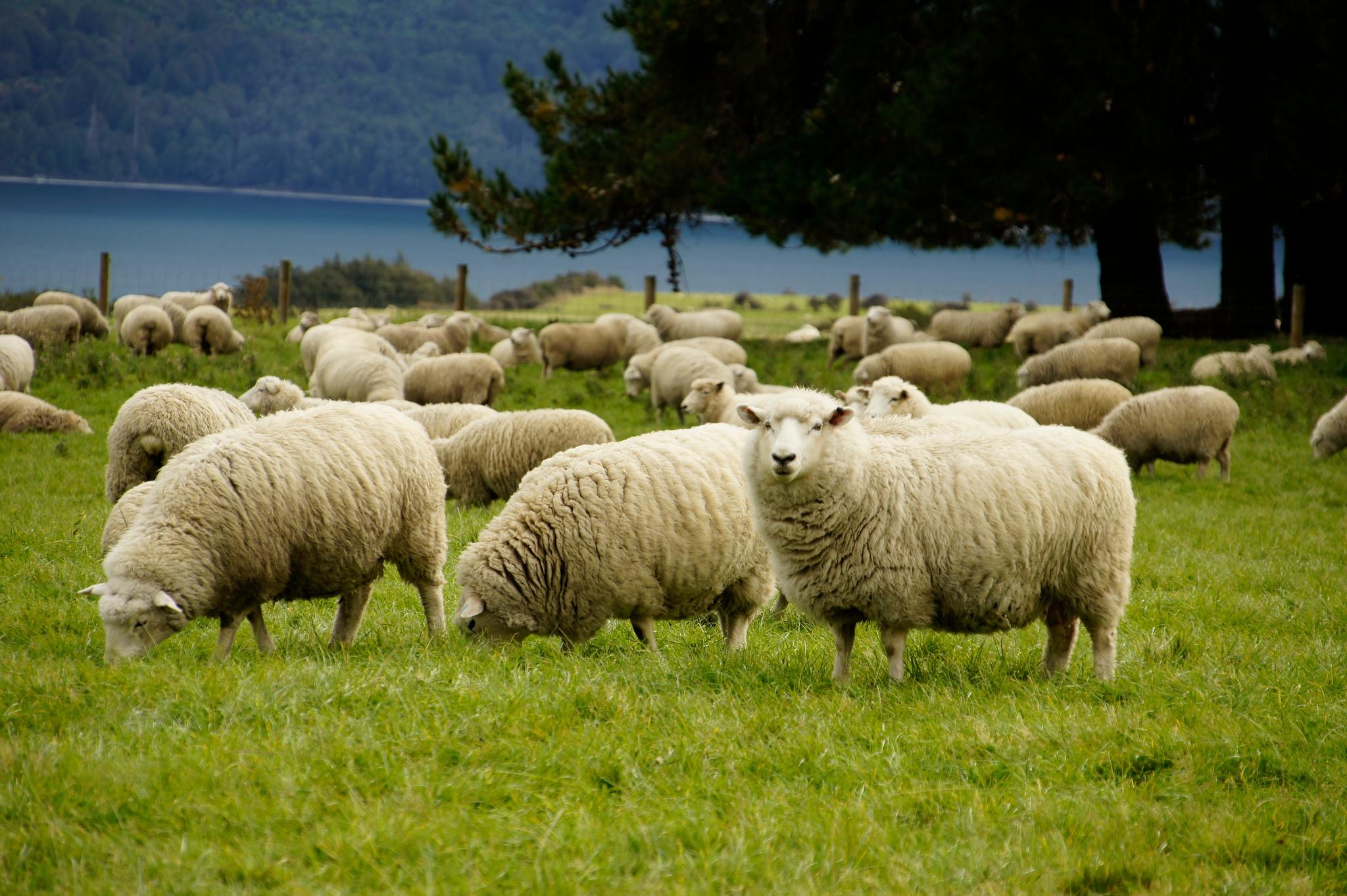 Sheep shagging dating website