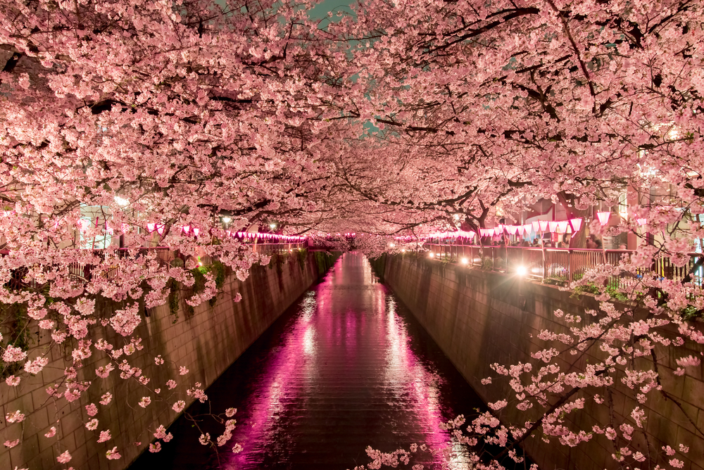 When To See Japans Cherry Blossom Trees In Full Bloom