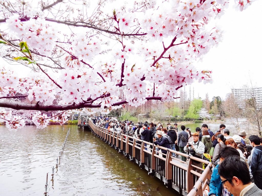 The hanami season in Kichijoji's Inokashira Park | © Dick Thomas Johnson/Flickr