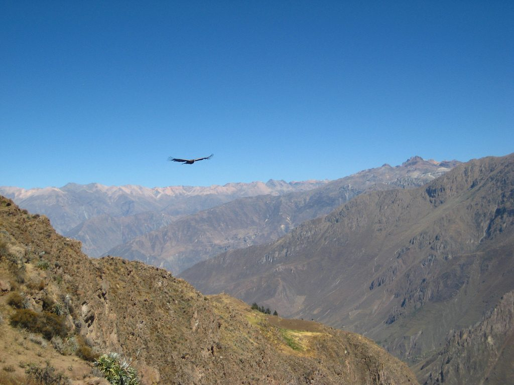 Condor soaring over Colca Canyon | © Rachael Taft/Flickr