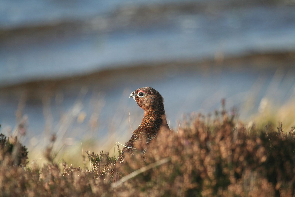 Red Grouse, Scotland