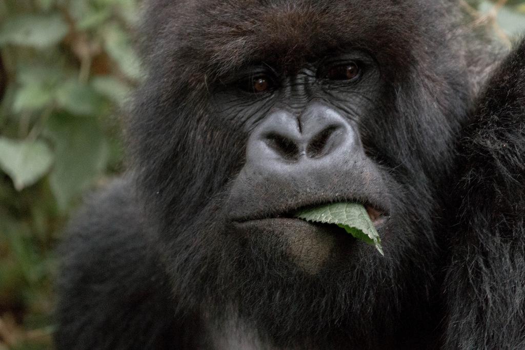 Mountain gorilla tracking