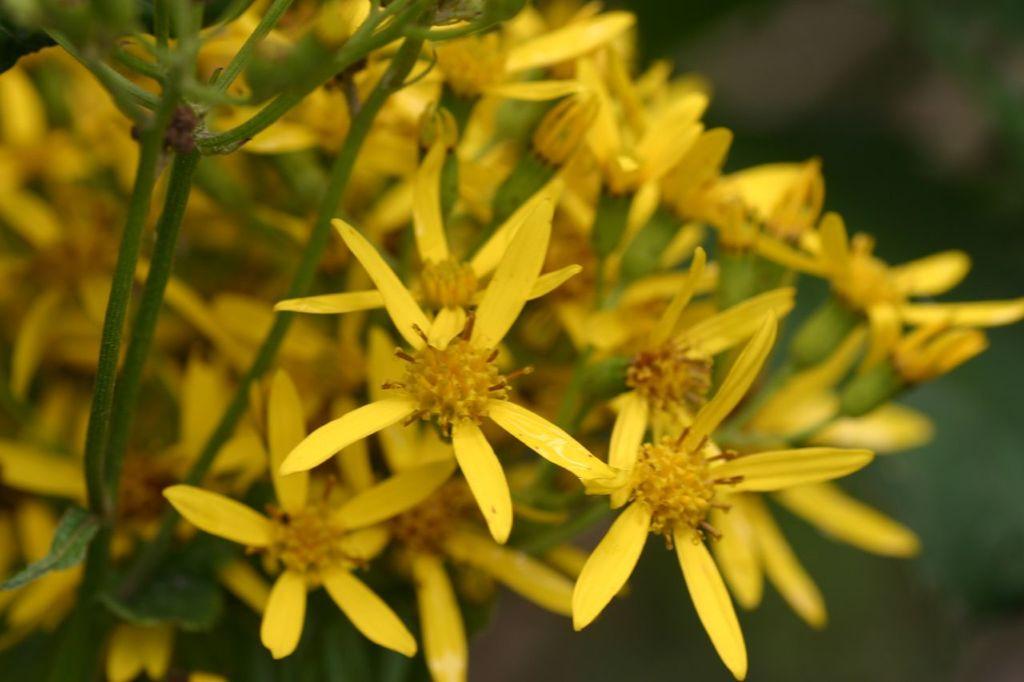 Yellow Asteraceae in Rwanda