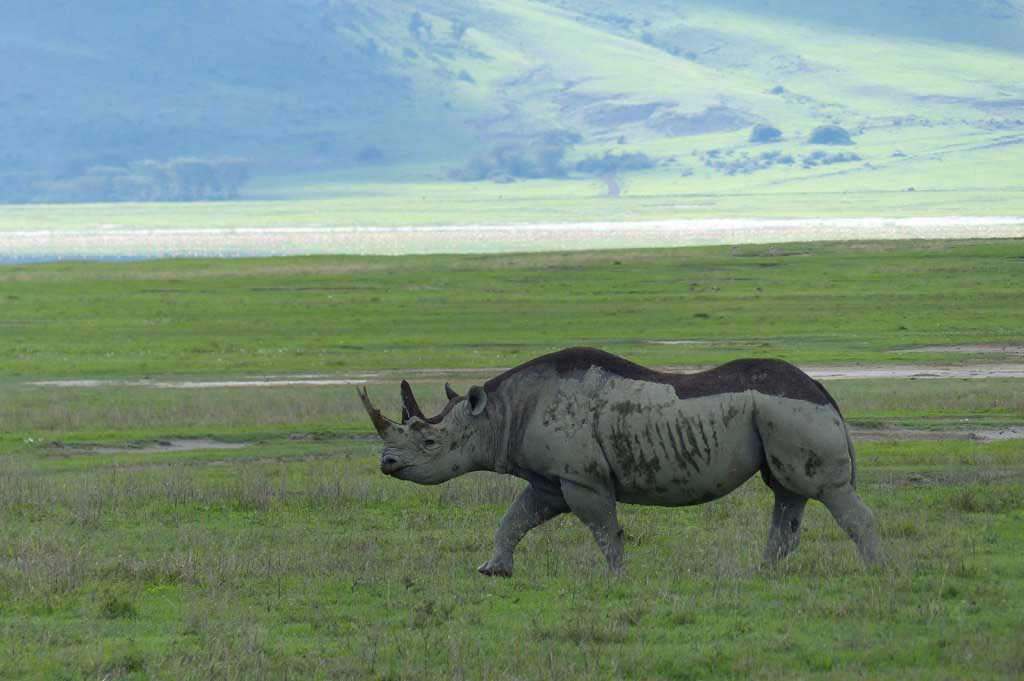 South-Africa's-Endangered-Black-Rhinos-Airlifted-to-Chad_black-rhino