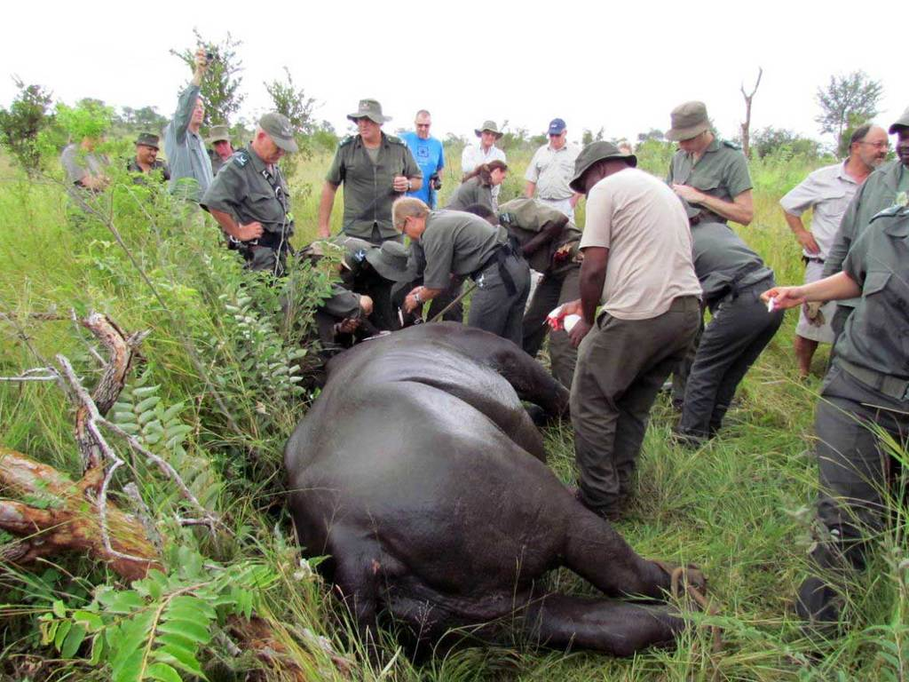 South-Africa's-Endangered-Black-Rhinos-Airlifted-to-Chad_rhino-project