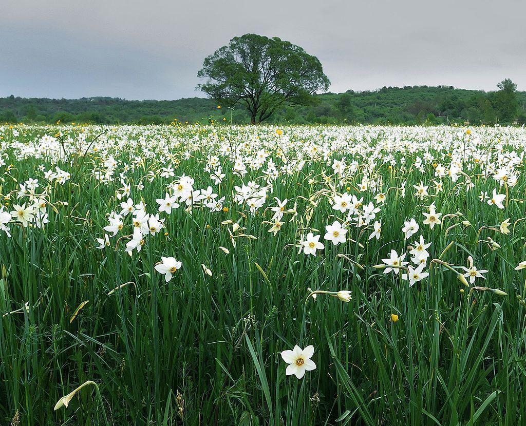 Valley of daffodils, Ukraine