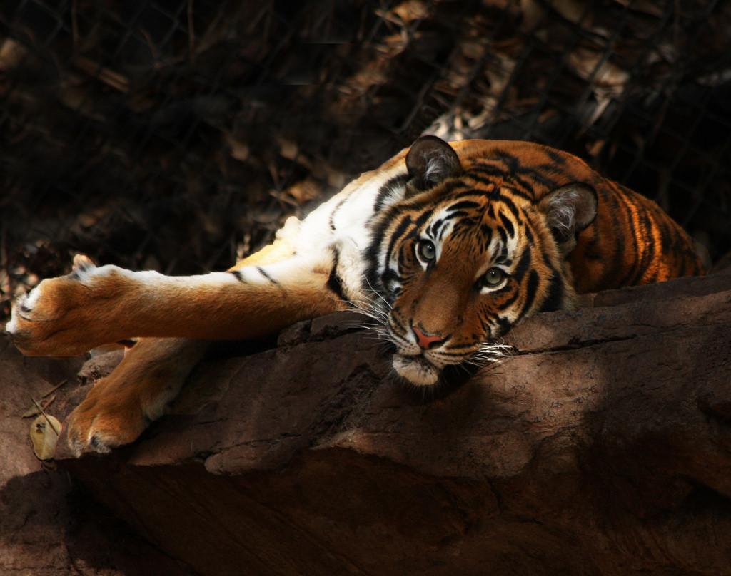Asian Tiger | © Rennett Stowe/Flickr