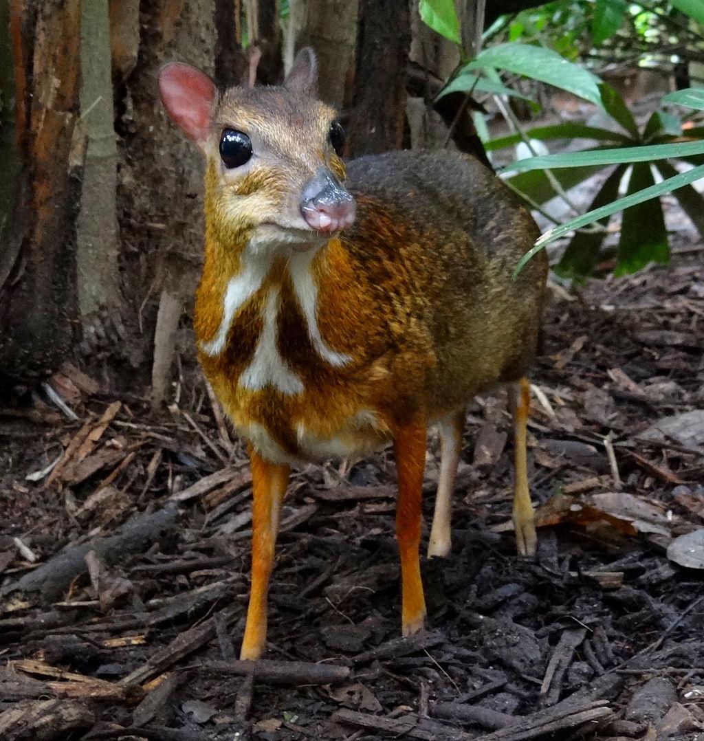https://theculturetrip.com/wp-content/uploads/2018/03/1024px-mouse-deer_singapore_zoo_2012.jpg