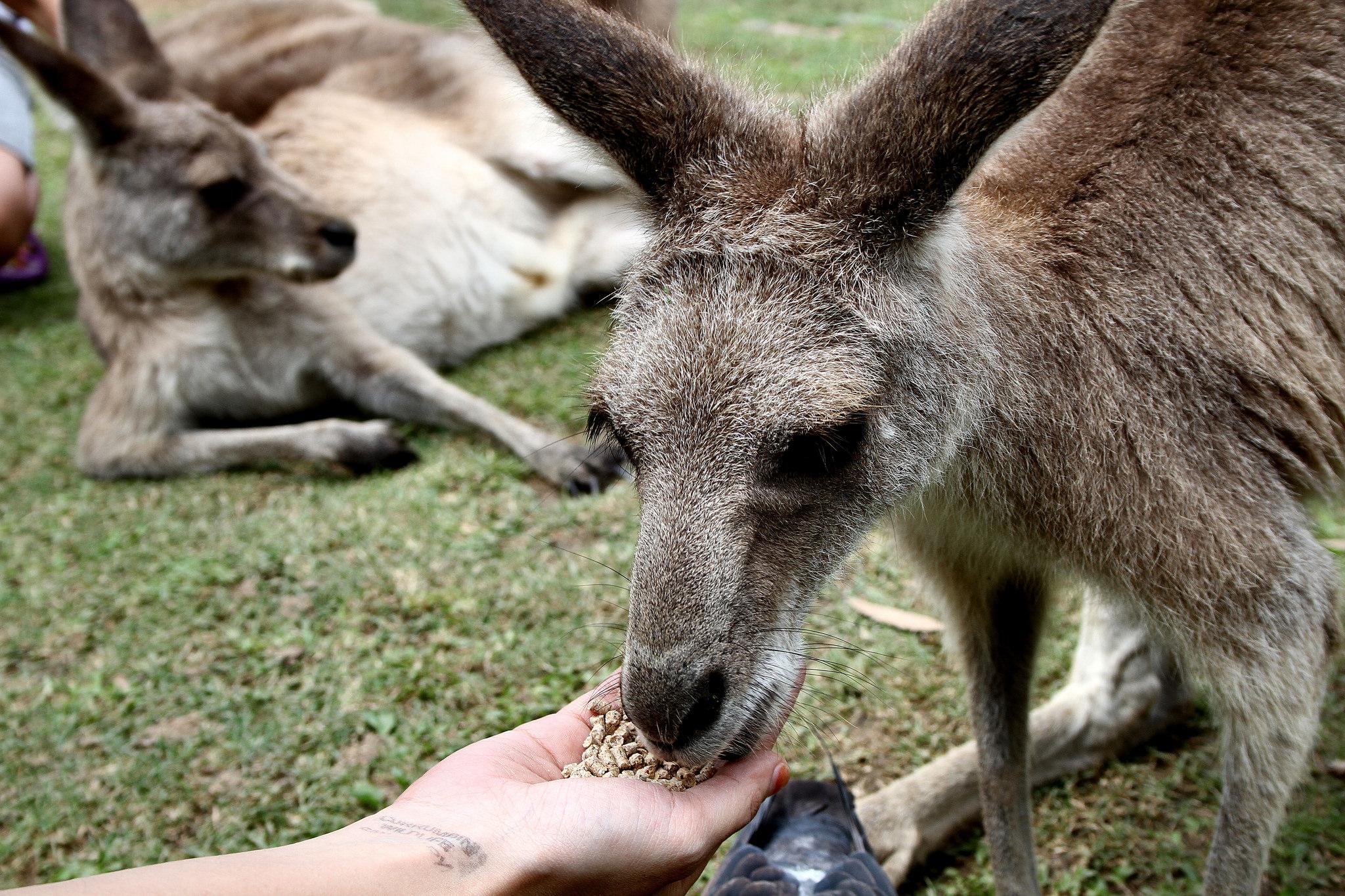 kangaroo encounters guided tours