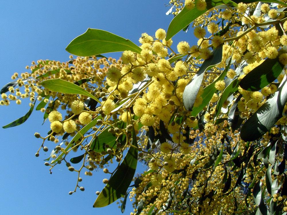 Golden Wattle 11 Facts About Australias National Flower