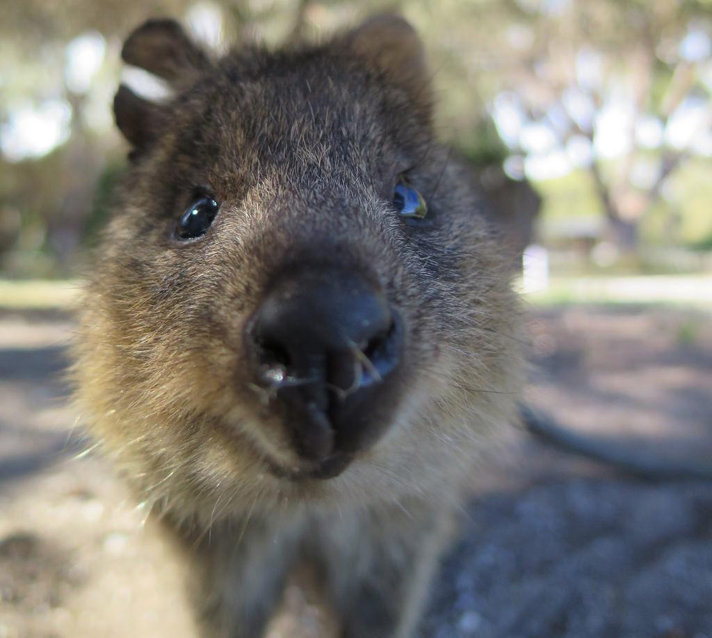Quokka 11 Facts About Australia S Cutest Animal